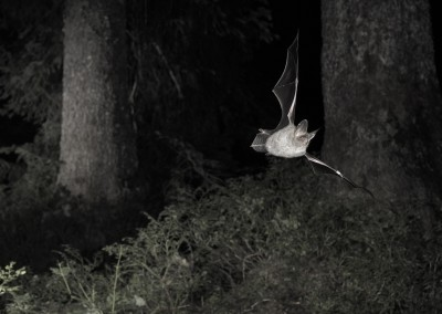 Myotis bechsteinii 003