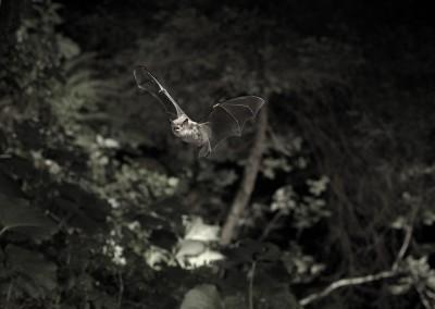 Myotis daubentonii 016
