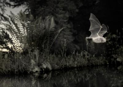 Myotis nattereri 010