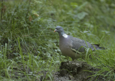 Pigeon ramier 019